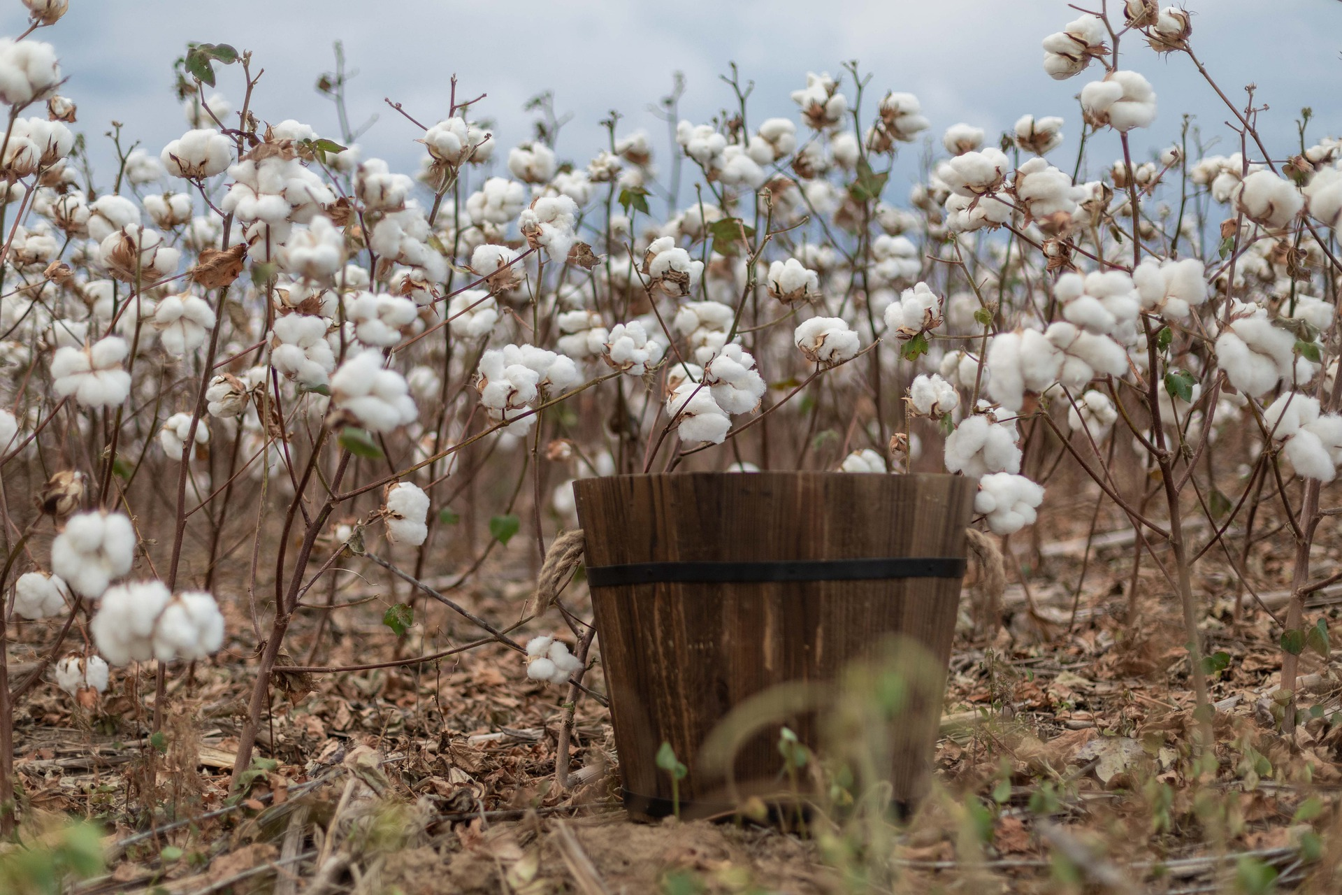 Agriculture In Iran: Within the upcoming cropping year (1400), 98,000 kg of cotton will be produced as the result of cultivations of Gossypium farmland in Iran.